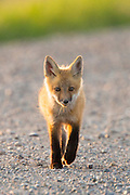 Red Fox Kit in central Montana.