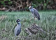 Night Herons in a Marsh