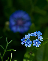 Blue Forget-Me-Not? Image taken with a Nikon D850 Camera and 70-300 mm VR lens