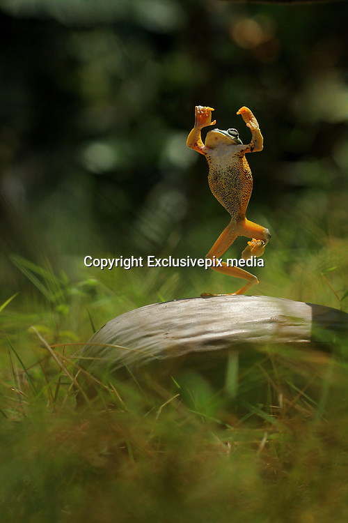 BATAM, JUNE 05: <br /> <br /> Flying Frog Dancing <br /> <br /> Flying frog caught dancing in Batam, Indonesia. Flying frog photos taken by Mohammad Roem , theses flying frog photos dancing and looking like the conductor of music like Mozart. Mohammad Roem PNH who work as a health worker captured these amusing images.<br /> <br /> ©Muhammad Roem/Exclusivepix media