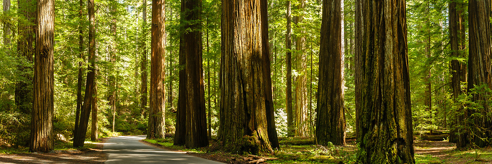 Giant redwood trees border a small road running through a California redwood forest