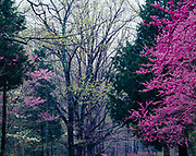 Spring bloom of dogwoods and redbuds along Houchins Ferry Road, Mammoth Cave National Park, Kentucky.