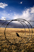 A Blue Heeler sits in the grasslands in the foothills of the Santa Rita Mountains near Sonoita, Arizona, USA.