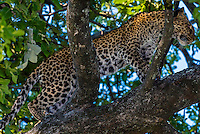 Leopard walking on a tree limb, Kwando Concession, Linyanti Marshes, Botswana.