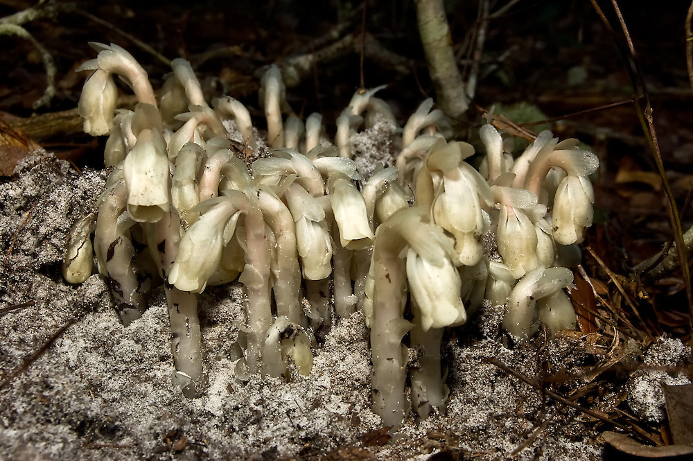 This parasitic plant in Florida's Ocala National Forest gets its nourishment from tree roots. It flowers in the fall - popping out of the ground like a mushroom, flowers, then turns black and dies.
