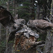 Adult great gray owl bringing in prey to feed babies in nest while mate waits. Spring in Montana.