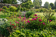 Paeonia (peonies) and Gladiolus communis (Gladiola) growing in the walled garden at Mottisfont Abbey. Romsey, Hamshire, UK