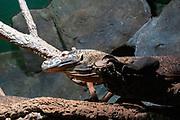 Komodo dragon (Varanus komodoensis), at the Haus Des Meeres, the Aquarium and terrarium building, Esterhazy Park, Mariahilf, Vienna, Austria