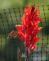 Monarch butterfly feeding on aCanna flower. Image taken with a Nikon 1 V3 camera and 70-300 mm VR lens.