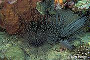 mysid or opossum shrimp sheltering in sea urchin, Diadema antillarium, Dominica  ( Eastern Caribbean Sea )