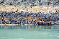 Brown bears sow and three cubs searching the shoreline in Tidal Inlet in Glacier Bay National Park and Preserve, Southeast Alaska.