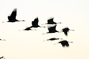 Common crane (Grus grus) Silhouetted at sun-set.  Photographed in the Hula Valley, Israel, in January.