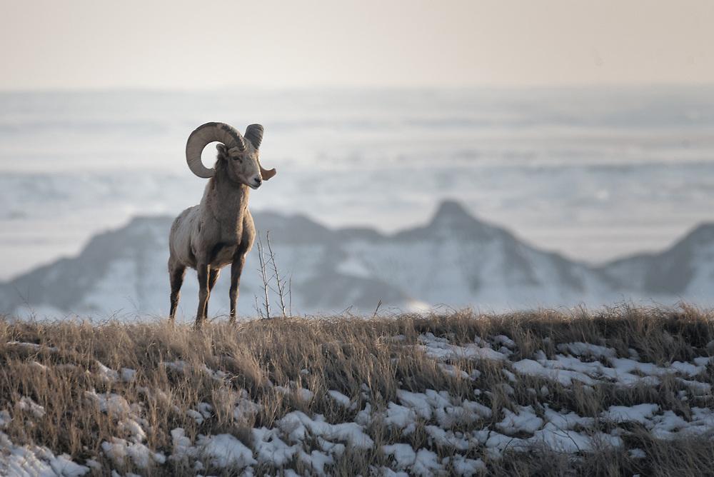 A Bighorn sheep ram stands on a hill in Badlands National Park, South Dakota