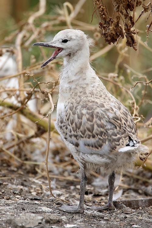 Silver Gull Fledgling (Chroicocephalus novaehollandiae) - Australia