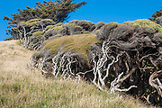 Wind-shaped Manuka and other shrubs hide in the wind shade of the rolling hills at Wharariki in the eternally windswept north western corner of the South Island of New Zealand.