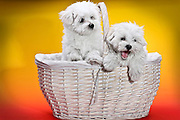 Two cute white puppies in white basket on orange and yellow background