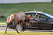 Bull elk attacks vehicle as frightened passengers look on during the  elk rut in Yellowstone National Park.