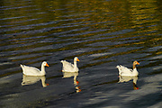A gaggle of geese heading to the pond
