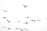 A flock of ibises, wading birds. Photographed in the Agamon lake, Hula Valley, Israel, in January