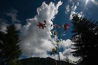 Aquilegia atrata; Dark Columbine, mountain area near Steg, Liechtenstein