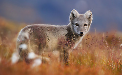 Arctic Fox (Alopex lagopus) curious young fox, Spitsbergen, Svalbard