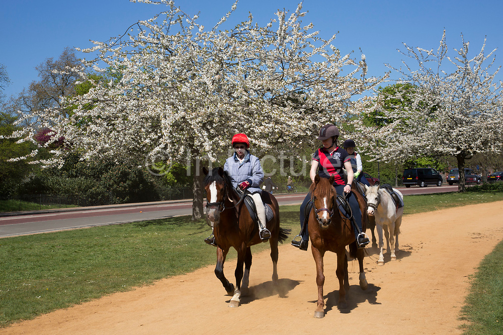 Horse back riding past the cherry blossom on trees in Hyde Park in London, UK. Due to sunny days and cold nights, the season for the flowering trees has been extended longer than is usual.