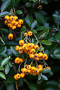 Firethorn Pyracantha Saphyr Orange, Oxfordshire, United Kingdom