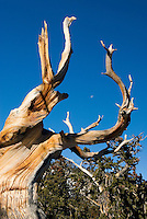 Bristlecone Pine tree (Pinus longaeva). These trees are the oldest living things on earth, the oldest reaching ages of nearly 5000 years. Dead trees do not decay but weather away like rocks and can remain for an additional several thousand years. Great Basin National Park Utah USA