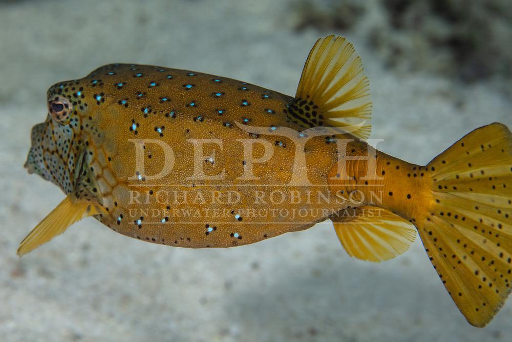 Ostracion cubicus (Yellow Boxfish) in the Nikao Lagoon, Rarotonga, Cook Islands.<br /> Saturday 18 July 2015<br /> Photograph Richard Robinson © 2015.