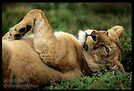 Lioness lies on back with foreleg in air on a lazy afternoon at Shamwari Game Reserves; E. Cape. South Africa