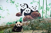 Chine, Province du Sichuan, Ya'an, base des panda de Bifengxia, Panda géant (Ailuropoda melanoleuca) // China, Sichuan province, Ya'an, Bifengxia Panda base