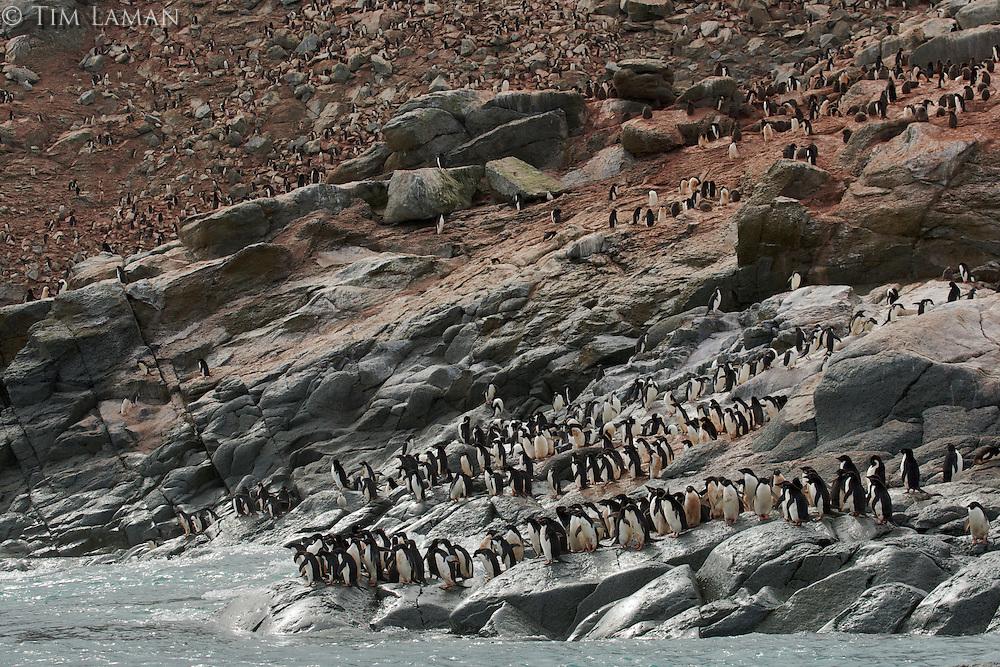 Adelie Penguin (Pygoscelis adeliae) colony on Heroina Island.
