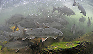 Lake Whitefish<br /> <br /> PAUL VECSEI/ENGBRETSON UNDERWATER PHOTO