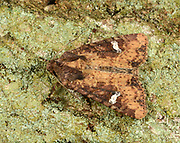 Close-up of a Common rustic moth (Mesapamea secalis) resting on tree bark in a Norfolk garden in summer