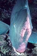 giant bumphead parrotfish, Bolbometopon muricatum, showing flattened red forehead of older fish, Sipadan Island, Sabah, Borneo, Malaysia ( Celebes Sea, Western Pacific Ocean )