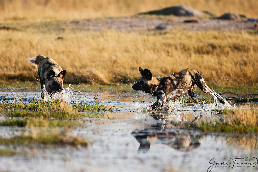 African Wild Dogs (Lycaon pictus) running through the water on an early morning hunt, Moremi Game Reserve,Botswana, Africa
