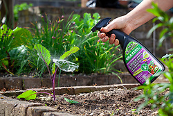 Applying caterpillar spray to young cabbage plants