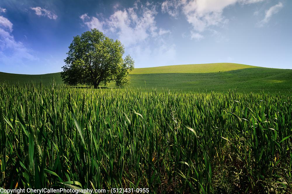 Lone tree in the wheat fields of Palouse