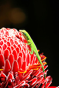 Chameleon, Torch Ginger, Hilo, Island of Hawaii