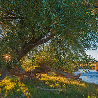 A black willow tree grows beside the Owens River near Bishop in the Owens Valley, California. This is a major water supply for the City of Los Angeles, which acquired most of the valley in an infamous land grab at the turn of the twentieth century.
