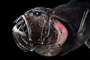 [captive] Common fangtooth (Anoplogaster cornuta), Deep Sea fish (Valenciennes, 1833), portrait,  Ord. Beryciformes, Fam. Anoplogastridae. Atlantic Ocean close to Cape Verde | Die Zähne des Fangzahnfischs Anoplogaster cornuta sind die – im Verhältnis zum Körper – längsten bei Meeresfischen bekannten. Sie sind so lang, dass die Fische ihr Maul nur schließen können, wenn sie sie in zwei Hohlräumen rechts und links ihres Gehirns verstauen.