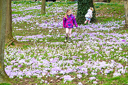 © Licensed to London News Pictures. 24/02/2021. Market Bosworth, UK. Crocus Pollen. The green areas around Market Bosworth are covered in crocus. Ivy (5) picks her way through the crocus fields. Photo credit: Dave Warren / LNP
