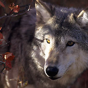 Gray Wolf, (Canis lupus) Portrait of adult. Autumn. Rocky mountains. Captive Animal.