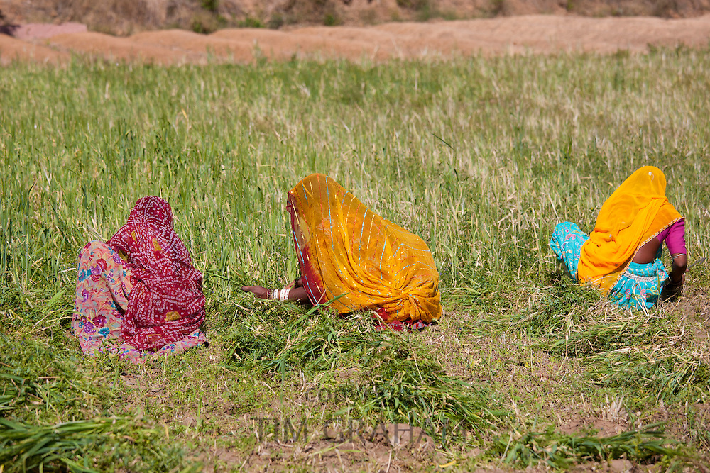 Lucerne crop being gathered for animal forage by local agricultural workers in fields at Nimaj, Rajasthan, Northern India