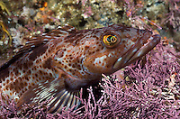 Close up of lingcod, Ophiodon elongatus on coraline algae