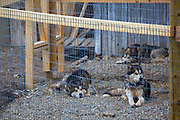 Huskies, or sled dogs, at the scientific research base of Ny Alesund, Svalbard