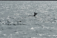 Silhouette of fluke of Bottle-nosed Dolphin,<br /> Tursiops truncatus,<br /> Moray Firth, Nr Inverness, Scotland - June