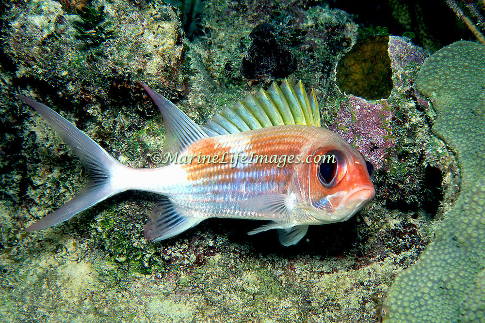 Squirrelfish primairly inhabit shallow patch reef and other shallow reef and wall tops in Tropical West Atlantic; picture taken Little Cayman.