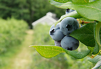 High bush blueberries line the paths ready for picking at Stone Brook Farm in Gilford.  (Karen Bobotas/for the Laconia Daily Sun)