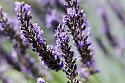 Detailed shot of flovering lavender | Macro opname van lavendel in bloei